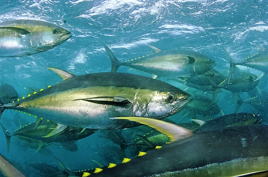 Image result for yellowfin tuna