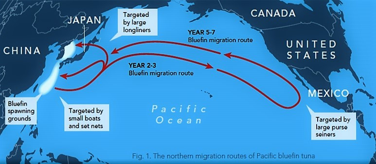 bluefin_map_tuna-pacific-tuna-migration-776-lw