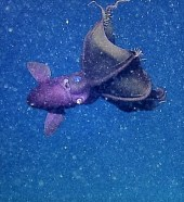 Vampire squid swimming in marine snow