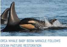 Orca baby boom