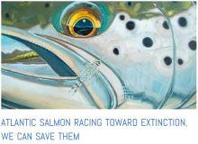 Salmon starving at sea