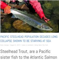 steelhead sister to Atlantic salmon