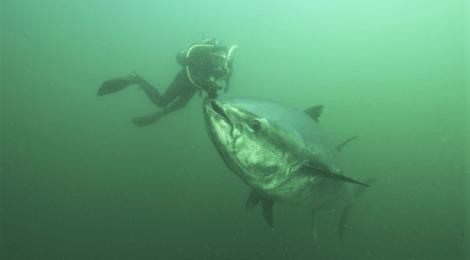 bluefin tuna being hand fed