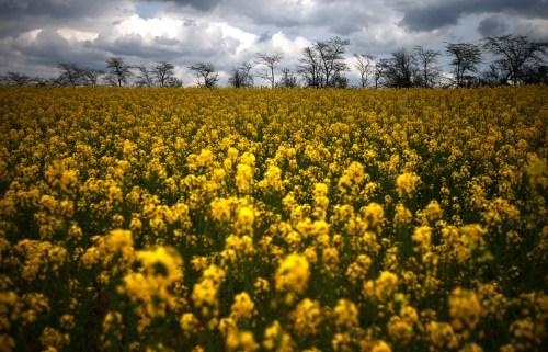 Crimea. Rapeseed field in the Belogorsk region More: http://tass.ru/en/economy/880112
