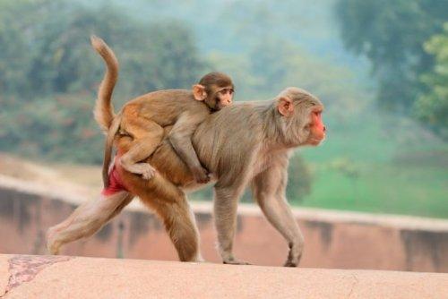 Rhesus macaque monkeys (Macaca mulatta)