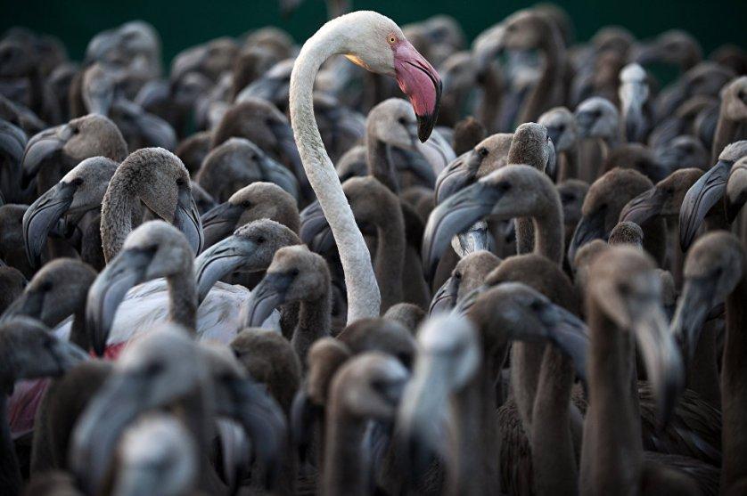 Фламинго в загоне во время операции по пересчету, взвешиванию и мечению птиц, болота Уэльва на юго-западе Испании.
