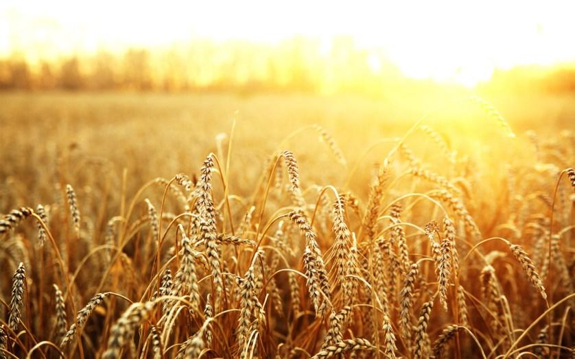 Russian wheat (1)