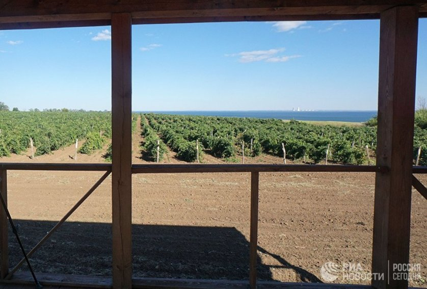 Виноград собирают практически при любой погоде. Иногда это приходится делать в довольно экстремальных условиях, например, под проливным дождем или палящим солнцем.