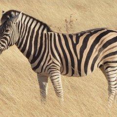 Стало известно, почему люди не смогли приручить зебр