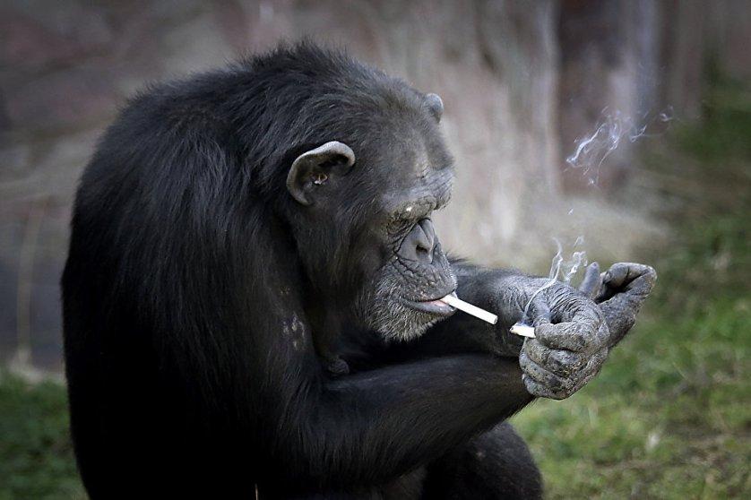 19-летняя самка шимпанзе по имени Азалия стала звездой зоопарка в Пхеньяне (Северная Корея) благодаря вредной привычке. Она выкуривает около пачки в день. Курильщица, у которой есть еще одно имя – Далле, даже умеет пользоваться зажигалкой. У посетителей курящая обезьяна вызывает большой восторг.