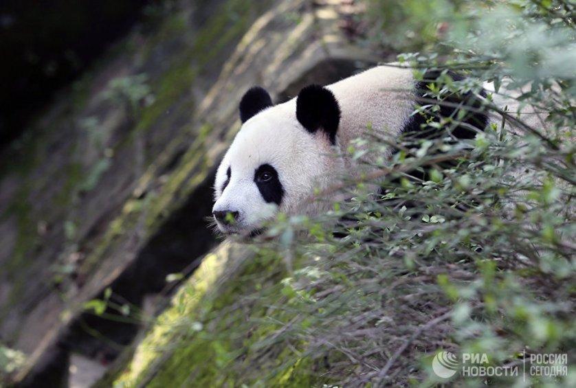 В дикой природе панды обитают только в горах провинции Сычуань и Тибете.