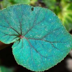 Ученые раскрыли тайну синего цвета листьев бегонии