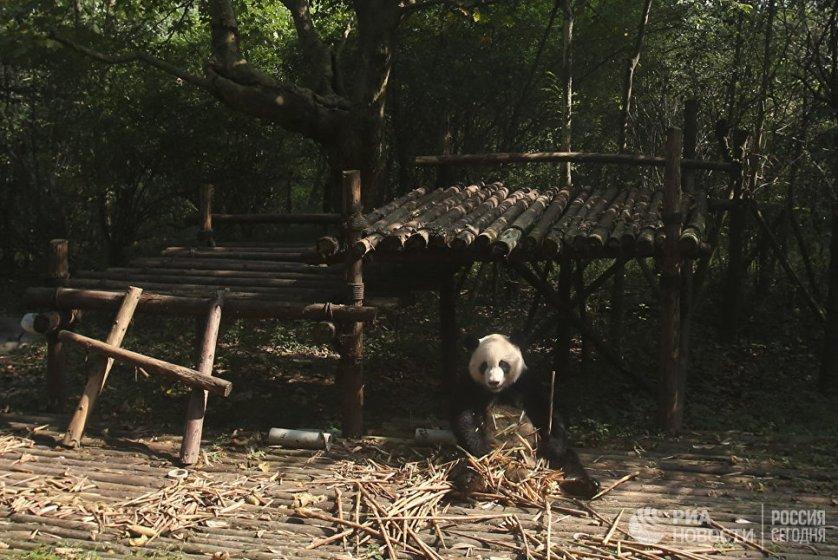 Научно-исследовательский центр разведения панд в Чэнду - это большой парк с павильонами, вольерами, лабораториями и огороженными территориями.