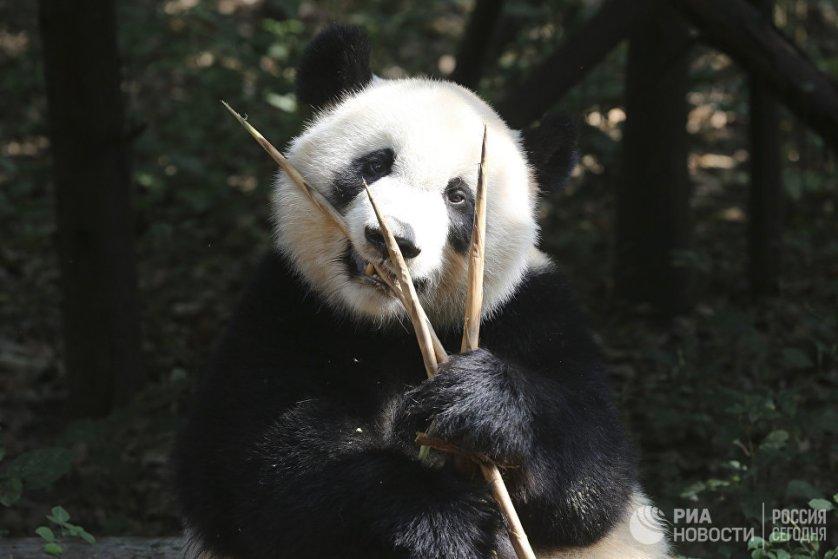 Несмотря на то, что панды относятся к хищным животным, фактически они едят один только бамбук. В день взрослая панда съедает до 30 кг бамбука и побегов.