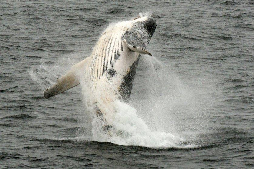 С июня по декабрь в водах Антарктики можно встретить горбатых китов.