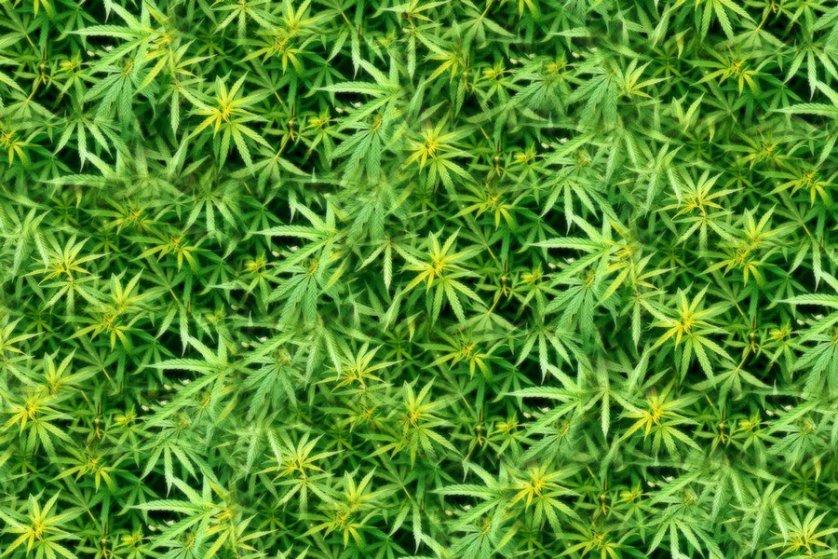 Канадские ученые хотят лечить марихуаной зависимость от кокаина