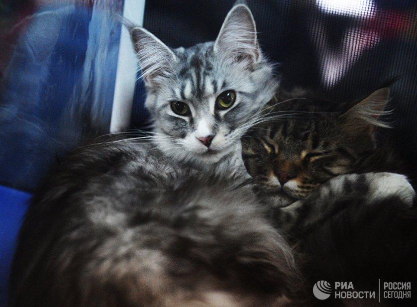 """Кошки породы мейнкун на выставке """"Кэт-Салон-Декабрь"""" в Москве."""