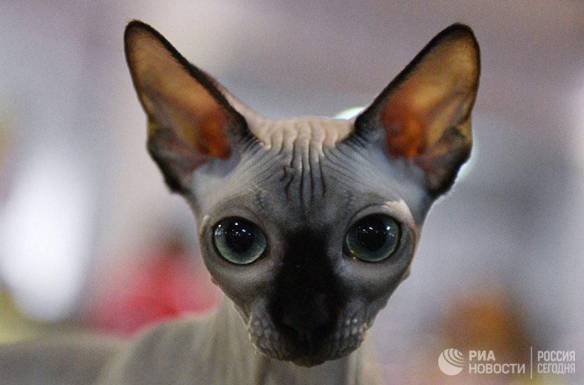 """Кошка породы канадский сфинкс на выставке """"Кэт-Салон-Декабрь"""" в Москве."""