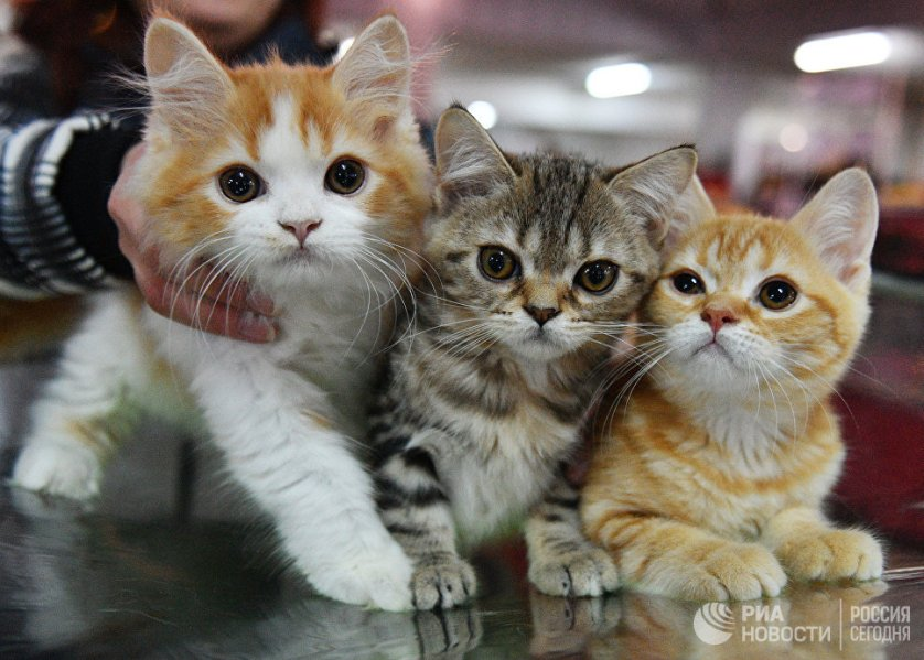 """Кошки породы британская на выставке """"Кэт-Салон-Декабрь"""" в Москве."""