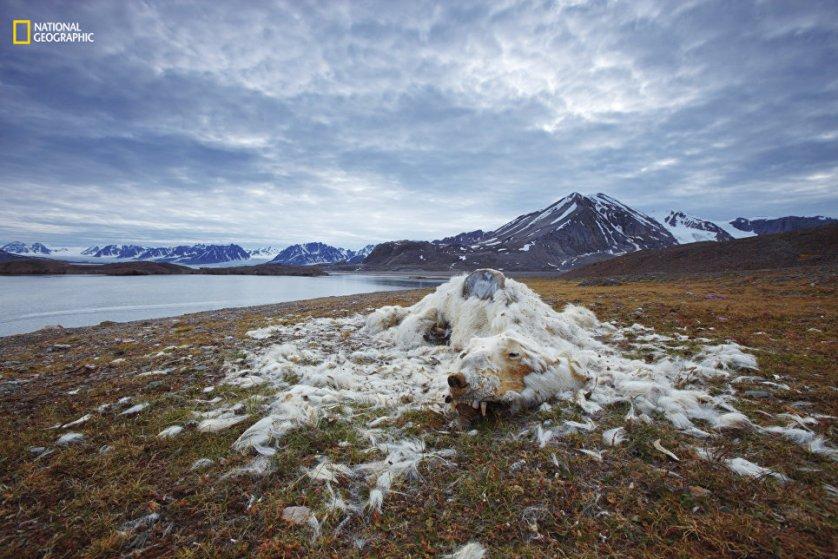"""В номинации """"Проблемы окружающей среды"""" победил снимок мертвого белого медведя, сделанный российским фотографом Вадимом Балакиным. Его работа называется """"Жизнь и смерть""""."""