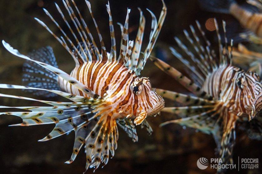 """Океанариум Санкт-Петербурга находится в торгово-развлекательном комплексе """"Планета Нептун"""". На фото: рыба-зебра (полосатая крылатка)."""