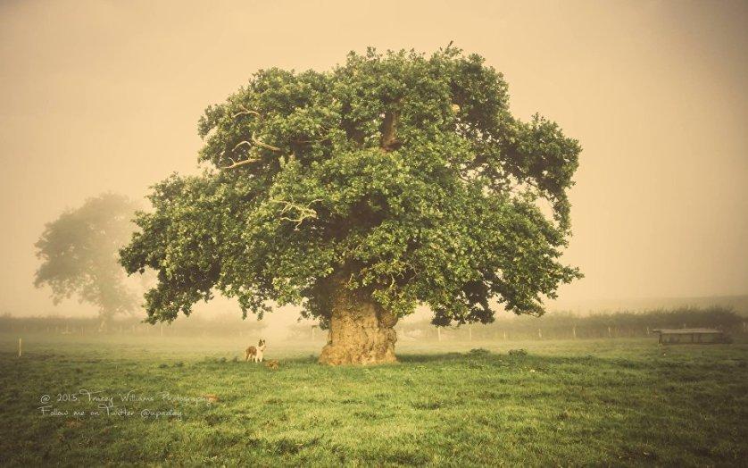 Второе место в конкурсе занял 500-летний Бриммонский дуб, растущий в Уэльсе. На протяжении вот уже нескольких поколений за ним ухаживает одна и та же семья. Недавно в связи со строительством новой дороги возникла опасность уничтожения дерева, однако благодаря тому, что петицию за его спасение подписали более пяти тысяч человек, дуб удалось сохранить, построив объездной маршрут.