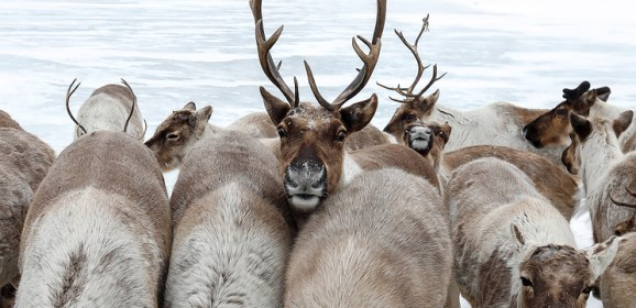 Scientists study reindeer migration across Putorana Plateau