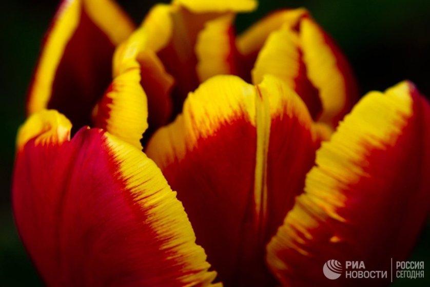 Первые высаженные луковицы тюльпанов зацвели в ботаническом саду еще в марте, однако пик цветения приходится на вторую половину апреля.