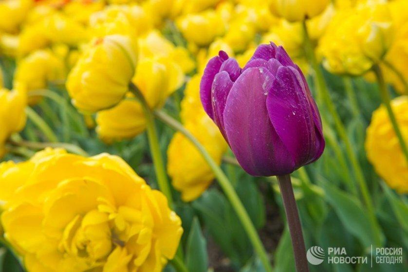 Тюльпаны выращивают в Никитском ботаническом саду с момента его основания в начале 19 века.
