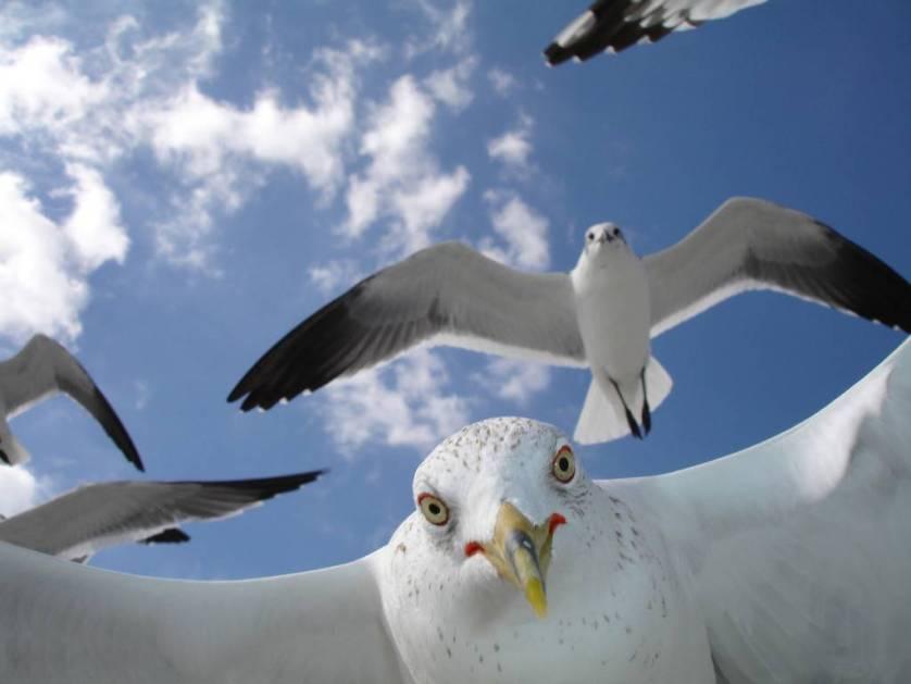 Чайки-вредители