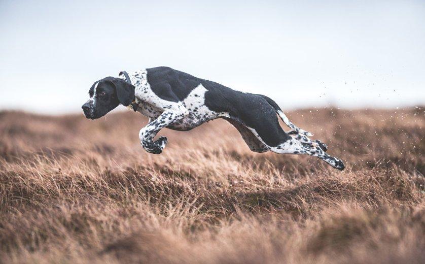 """Победитель в категории """"Собаки на работе"""" фотограф из Великобритании Сара Кальдекотт. Снимок """"В движении""""."""