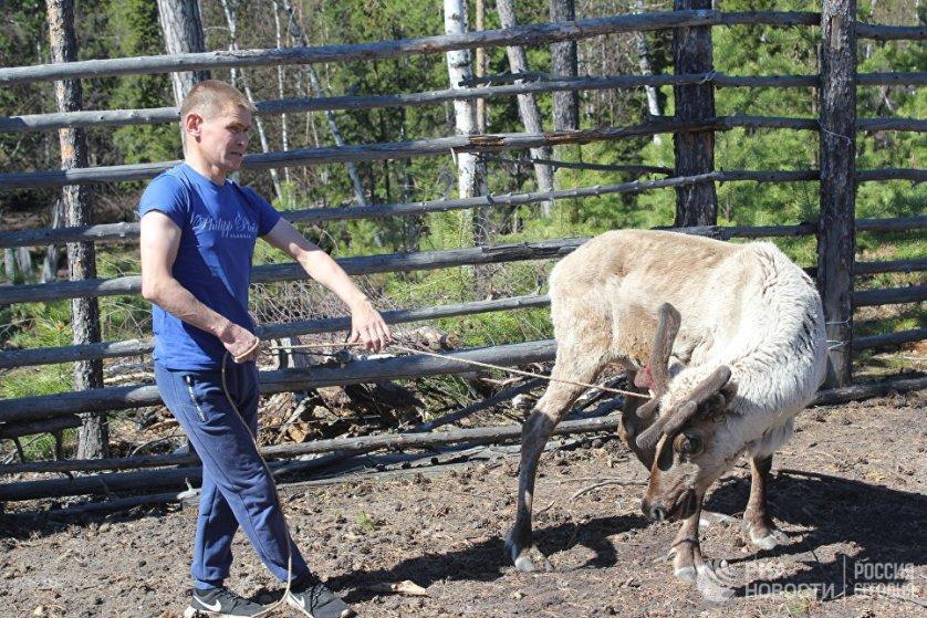 Для ханты и манси олени - это и пропитание, и транспорт. Шкура и мех используются для изготовления одежды, а сухожилия - в качестве нитей. Загон для оленей может вмещать от 8 до 50 животных. Поймать оленя легче, когда он не скинул рога. Леонид Землин обучен этому ремеслу с 10 лет.