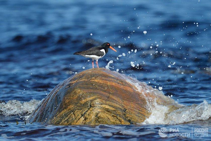 Кулик-сорока в Онежском заливе в районе мыса Глубокий.