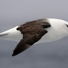 Орнитологи впервые обнаружили чернобрового альбатроса на Земле Франца-Иосифа