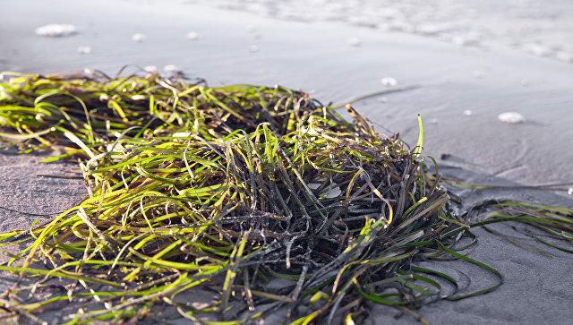 Ученые выяснили, что соединения из морской травы подавляют развитие рака