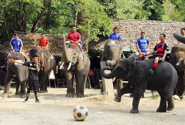Сегодня существуют три вида слонов: Индийский, африканский Саванный и Лесной.