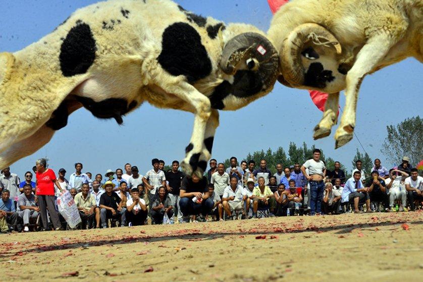 Бой баранов в китайской деревне Ляочэн, провинция Шаньдун.