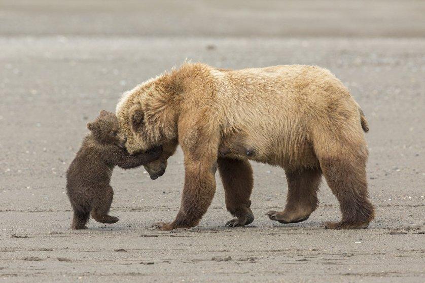 """Работа фотографа из США Эшли Скалли """"Медвежьи объятья"""" (Bear hug) в категории """"Молодой фотограф от 11 до 14 лет"""". Снимок медведицы с детенышем был сделан в заповеднике Лейк-Кларк на юго-западе штата Аляска."""