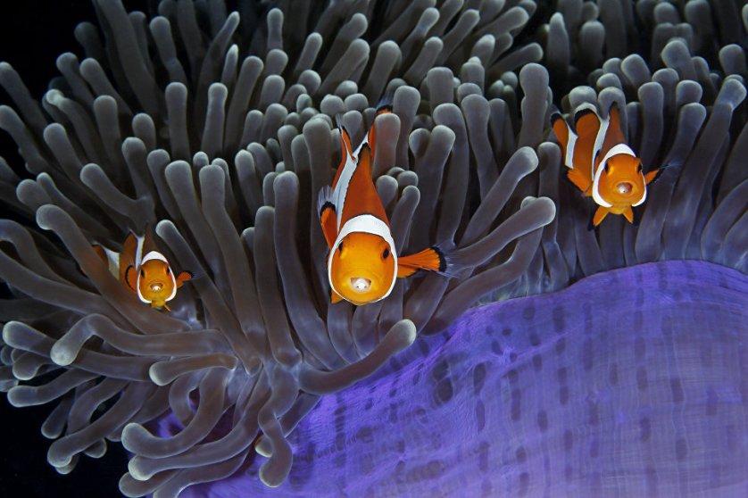 """Работа фотографа из Китая Кинга Лина """"Посвященные в тайну"""" (The insiders) в категории """"Подводный мир"""". На снимке: рыбки-клоуны - единственные существа, способные жить среди ядовитых щупалец морских актиний."""