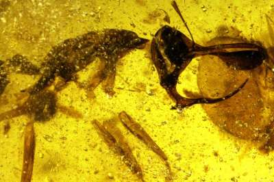 Палеонтологи описали новый вид муравьев мелового периода – с парой острых лезвий на челюстях, укрепленным металлами рогом и склонностью к вампиризму.