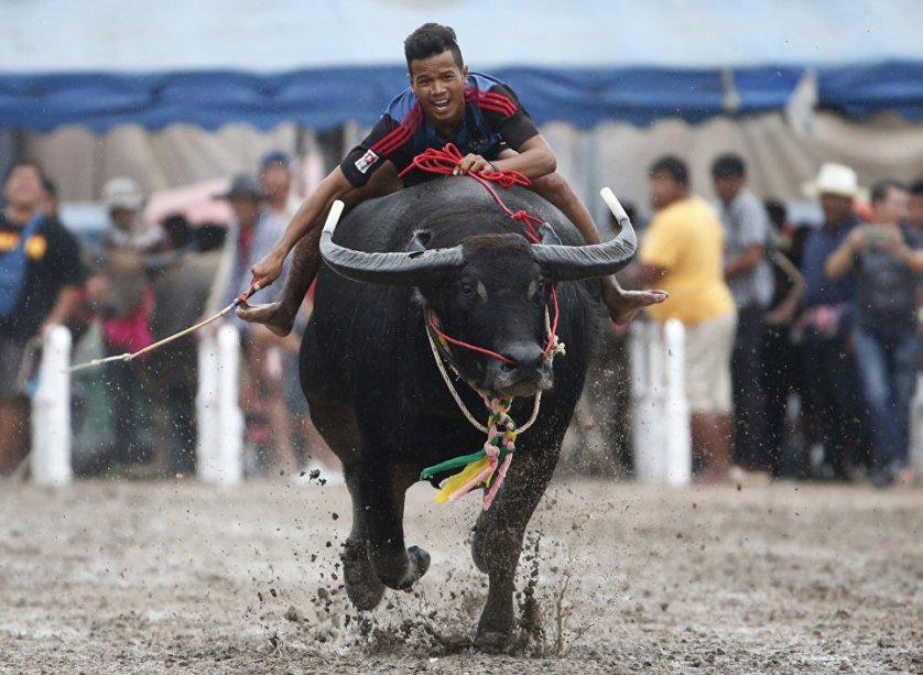 Ежегодная гонка буйволов в провинции Чонбури, Таиланд.