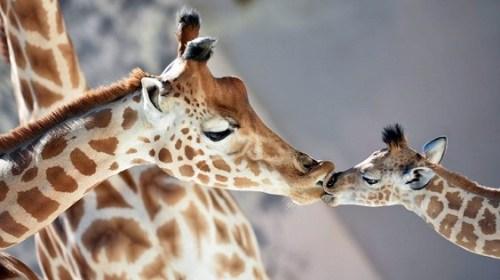 Жирафы на грани вымирания, Шум мешает наслаждаться едой, Названа новая опасность марихуаны, царь-айсберг, черепа из сундуков