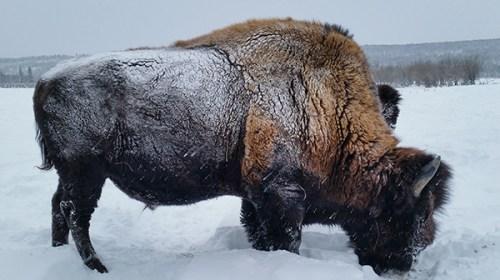 Бизон — зверек русский