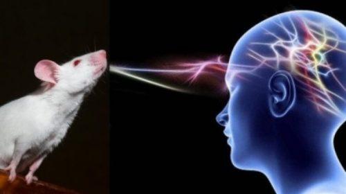 Ещё один шаг к телепатии: в эксперименте ученые мысленно управляли крысой