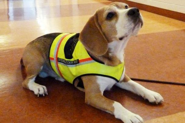 beagle helper2