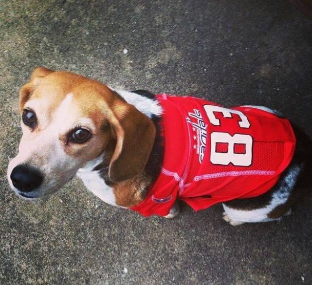 beagle-in-beagle-jersey