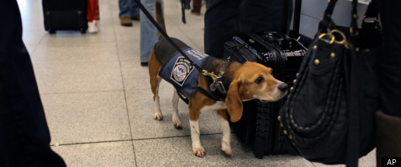 bomb-sniffing-beagle