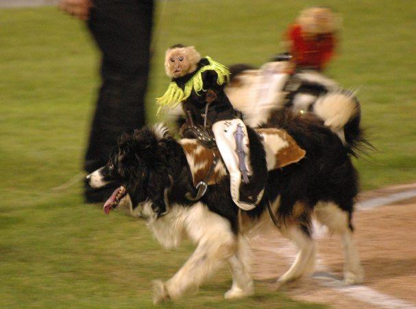 cowboy-monkey-rodeo35