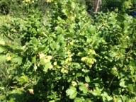 green currants