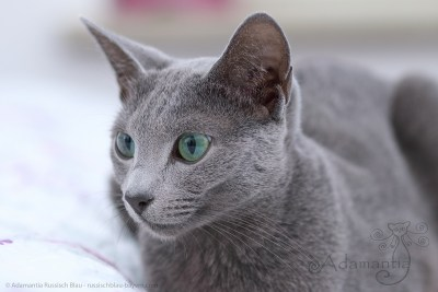 Russischblau Katze Fee-12